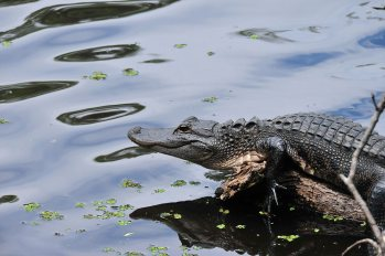 Alligator and New Orleans Swamp Tours