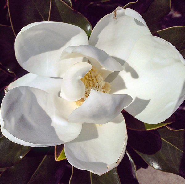 Magnolias Blossoming in New Orleans